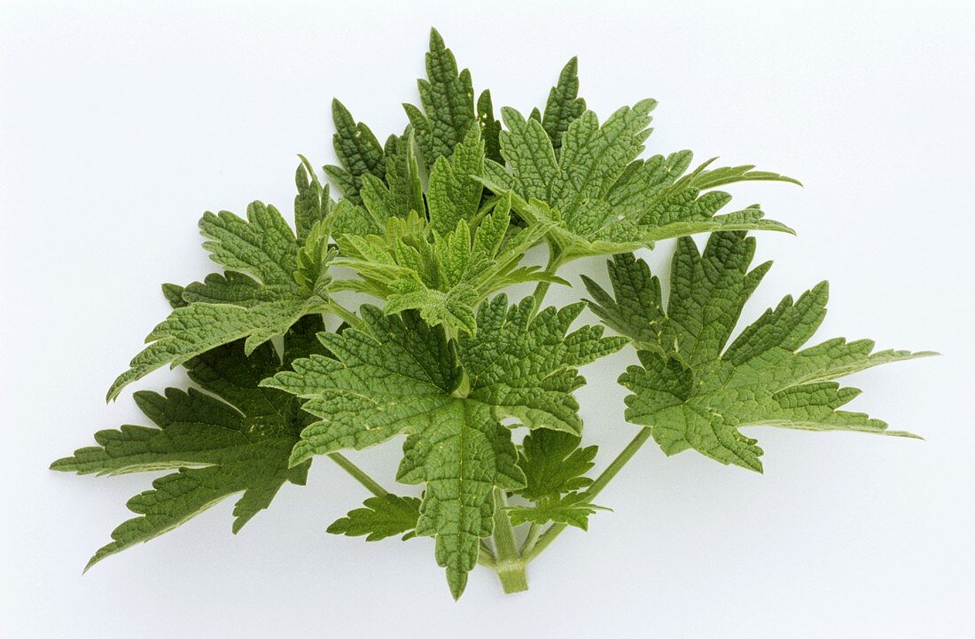 Motherwort (without flowers, on white background)