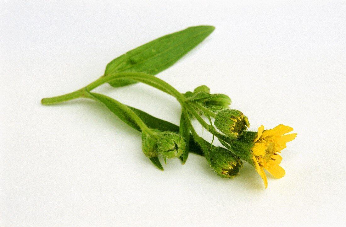 An arnica flower