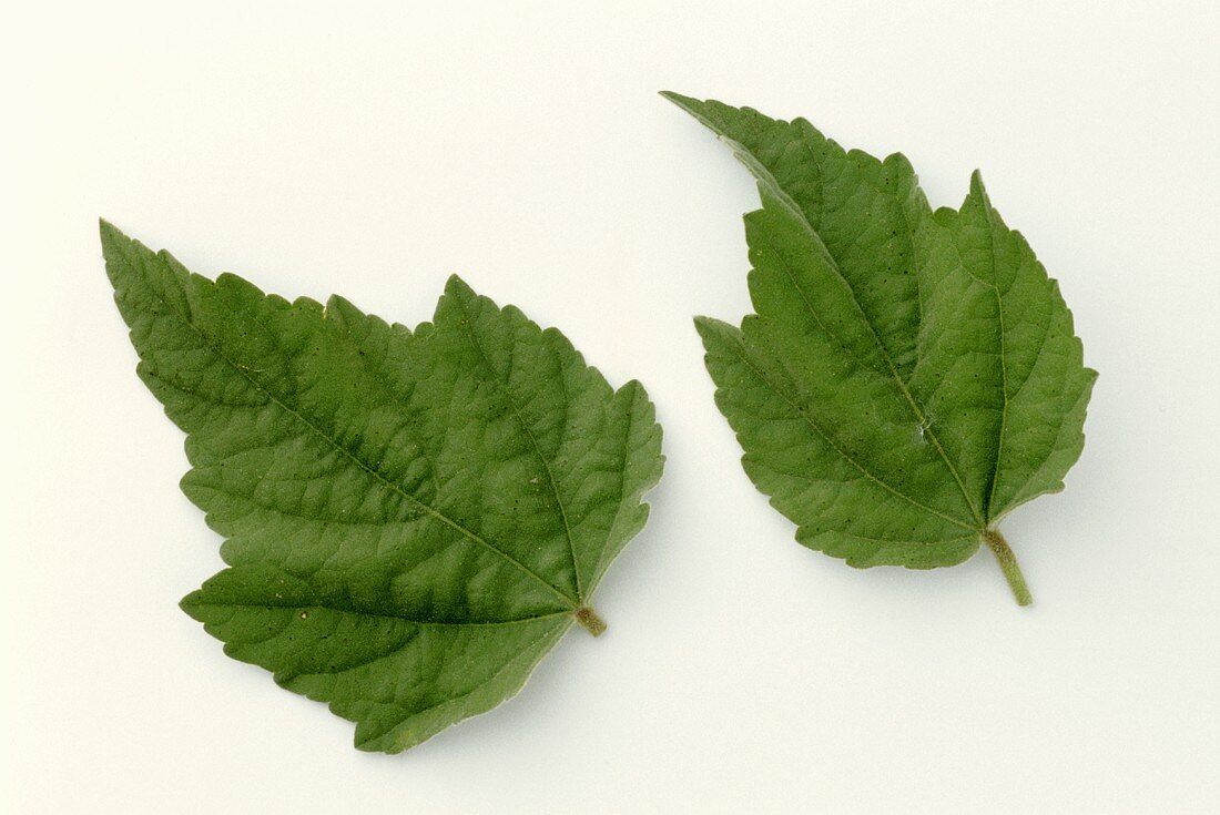 Two marsh mallow leaves