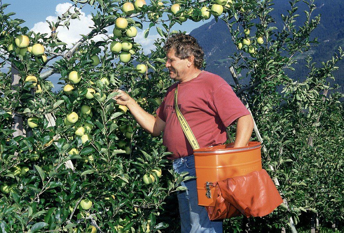 A Man Harvesting Apples