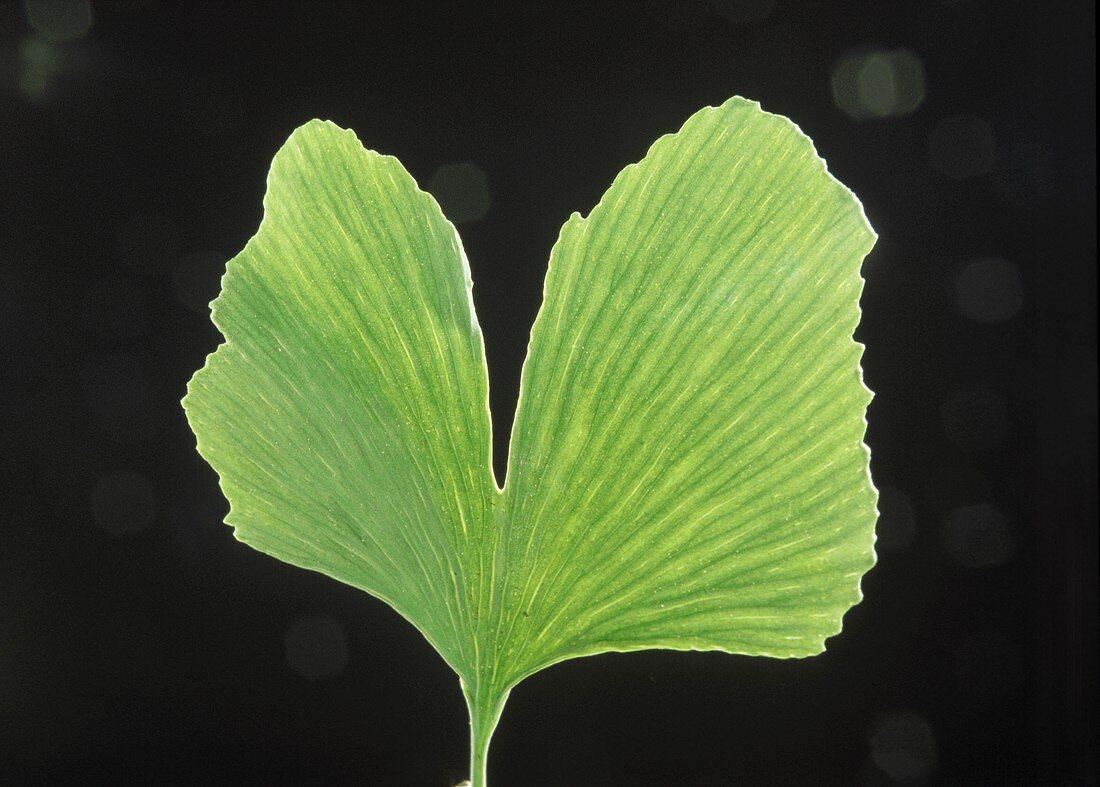 A fresh ginkgo leaf against black background