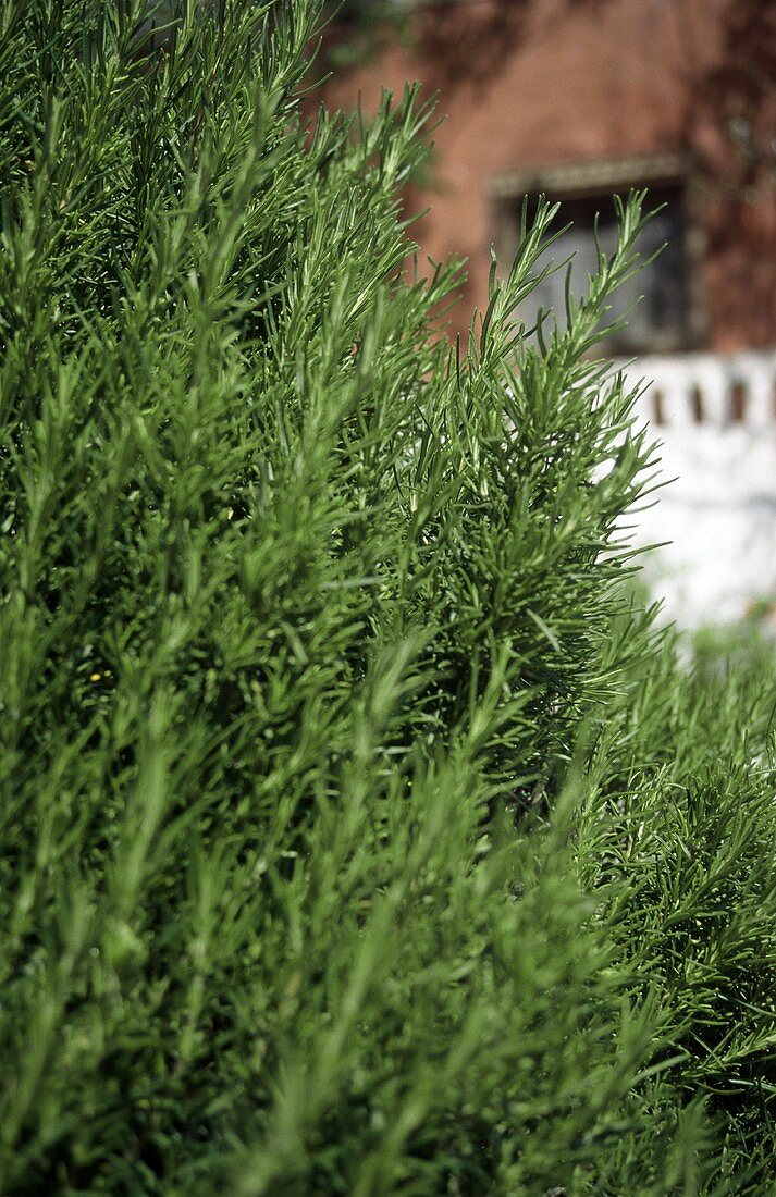 Fresh rosemary in garden in front of house (close-up)