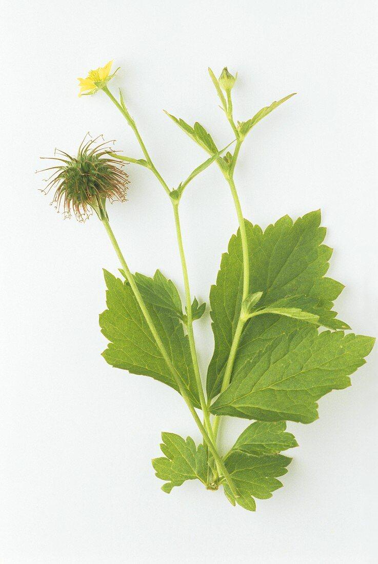 Herb Bennet (Geum urbanum L.) sprigs with leaves, flowers