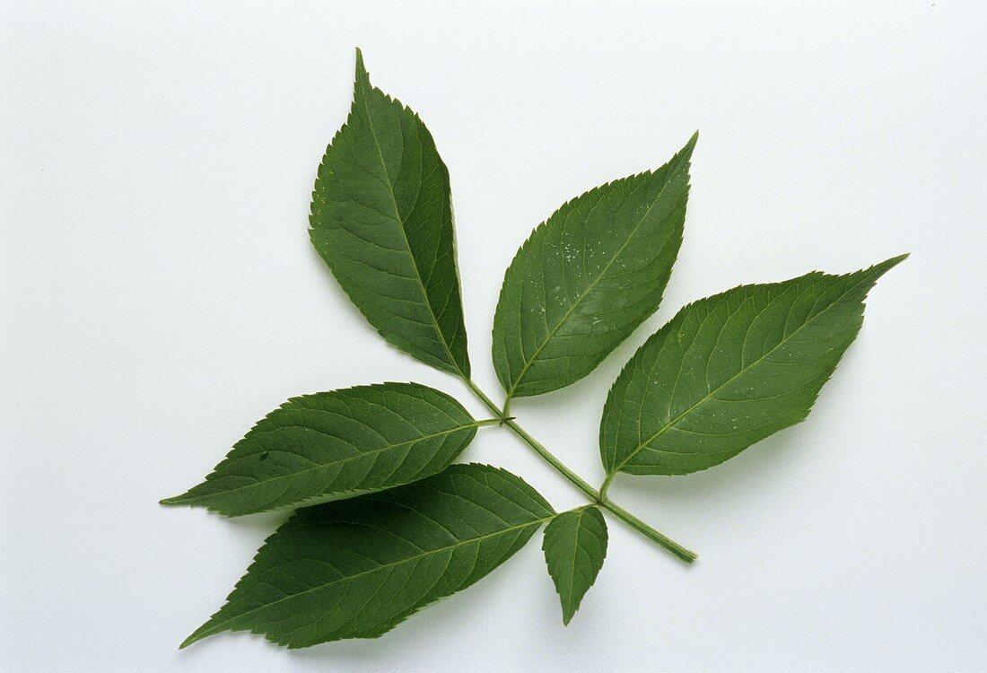 Elder leaves (Sambucus nigra)