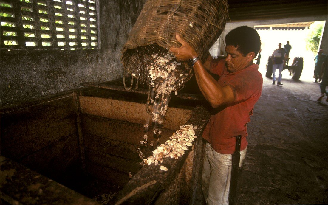 Fresh cocoa beans stored in large containers