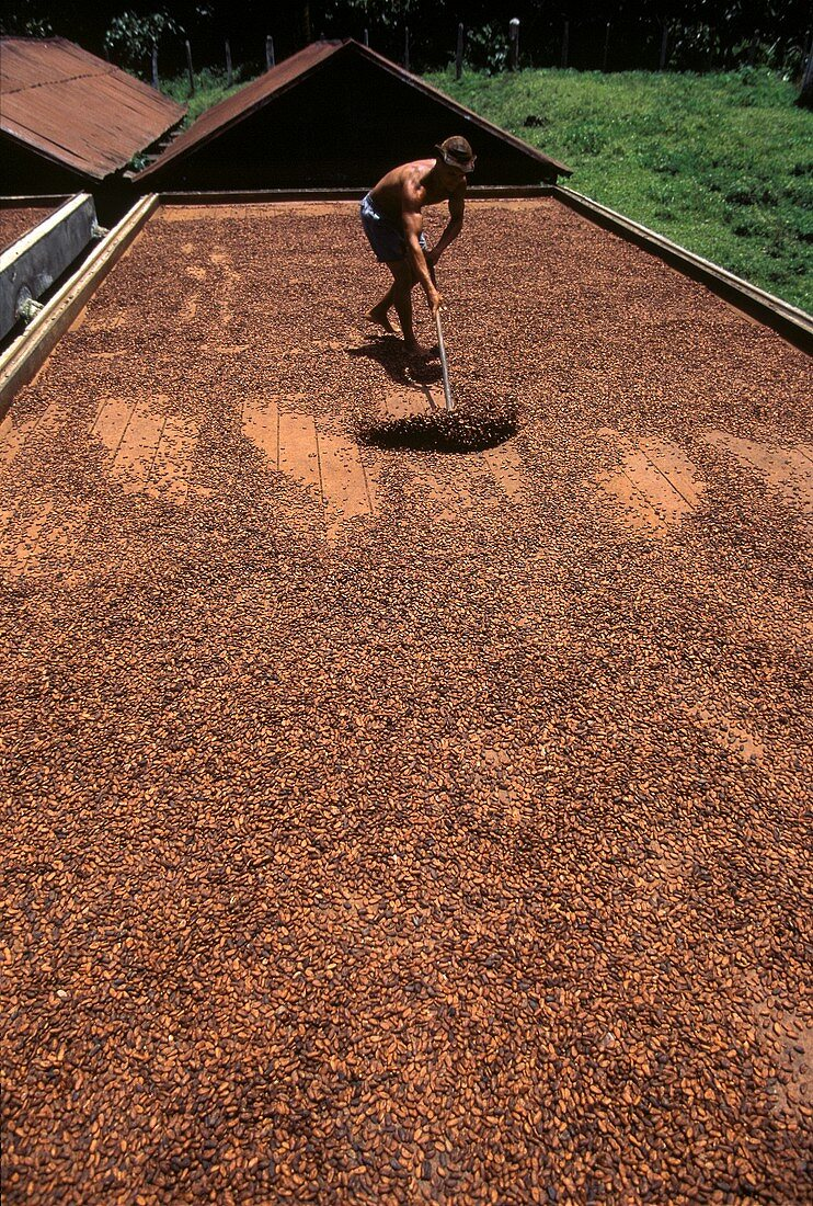 Fermented cocoa is dried in the sun and turned