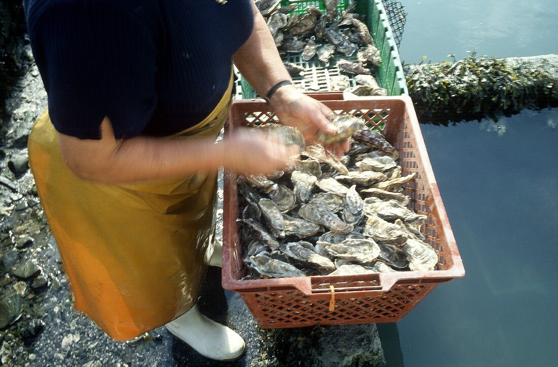 Basket Full of Fresh Oysters