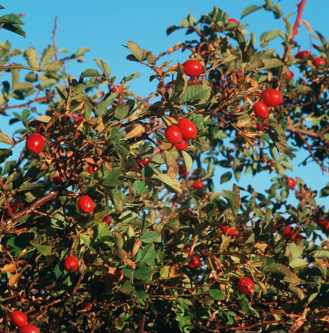 Rose hips on the bush, background: blue sky