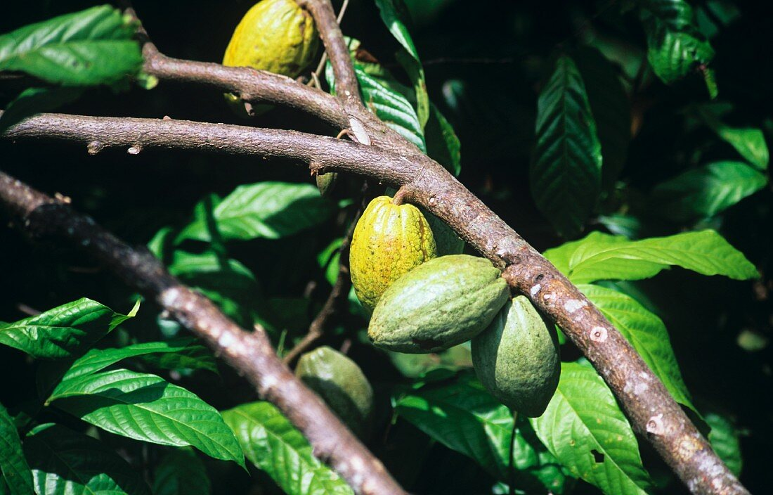 Cacao fruits on the branch