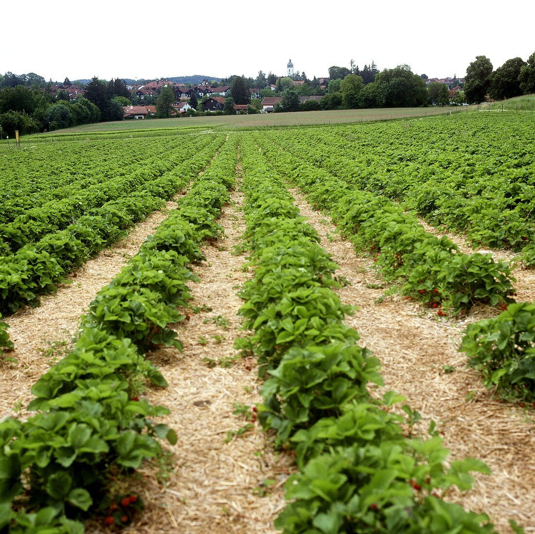 Strawberry field with rows of plants
