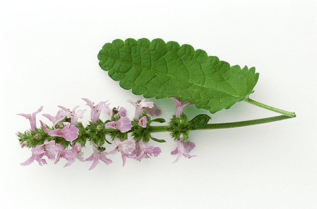 Betony (Stachys officinalis) sprig with flowers and leaf