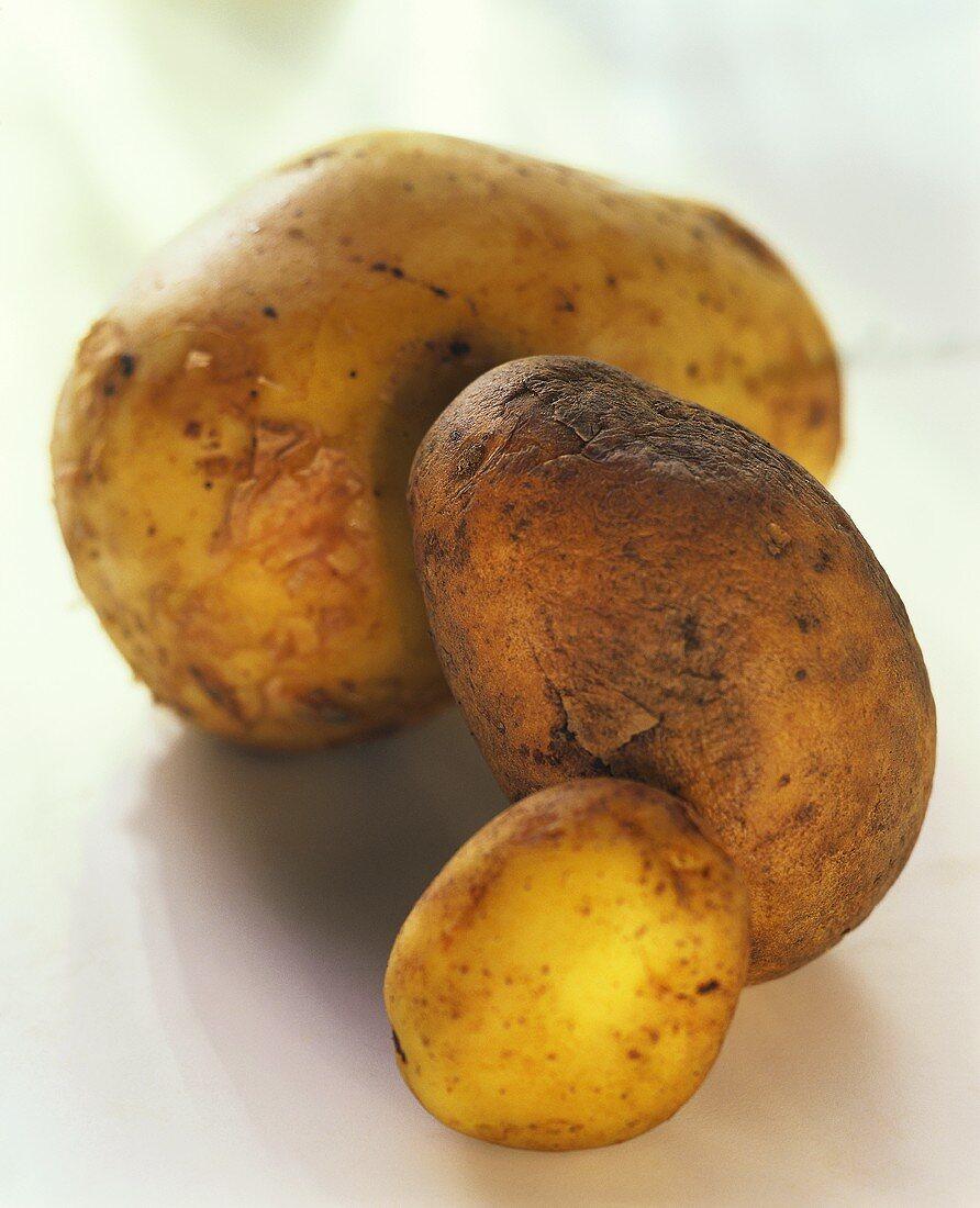 Drei Kartoffeln: Sieglinde, Agria und Spunta