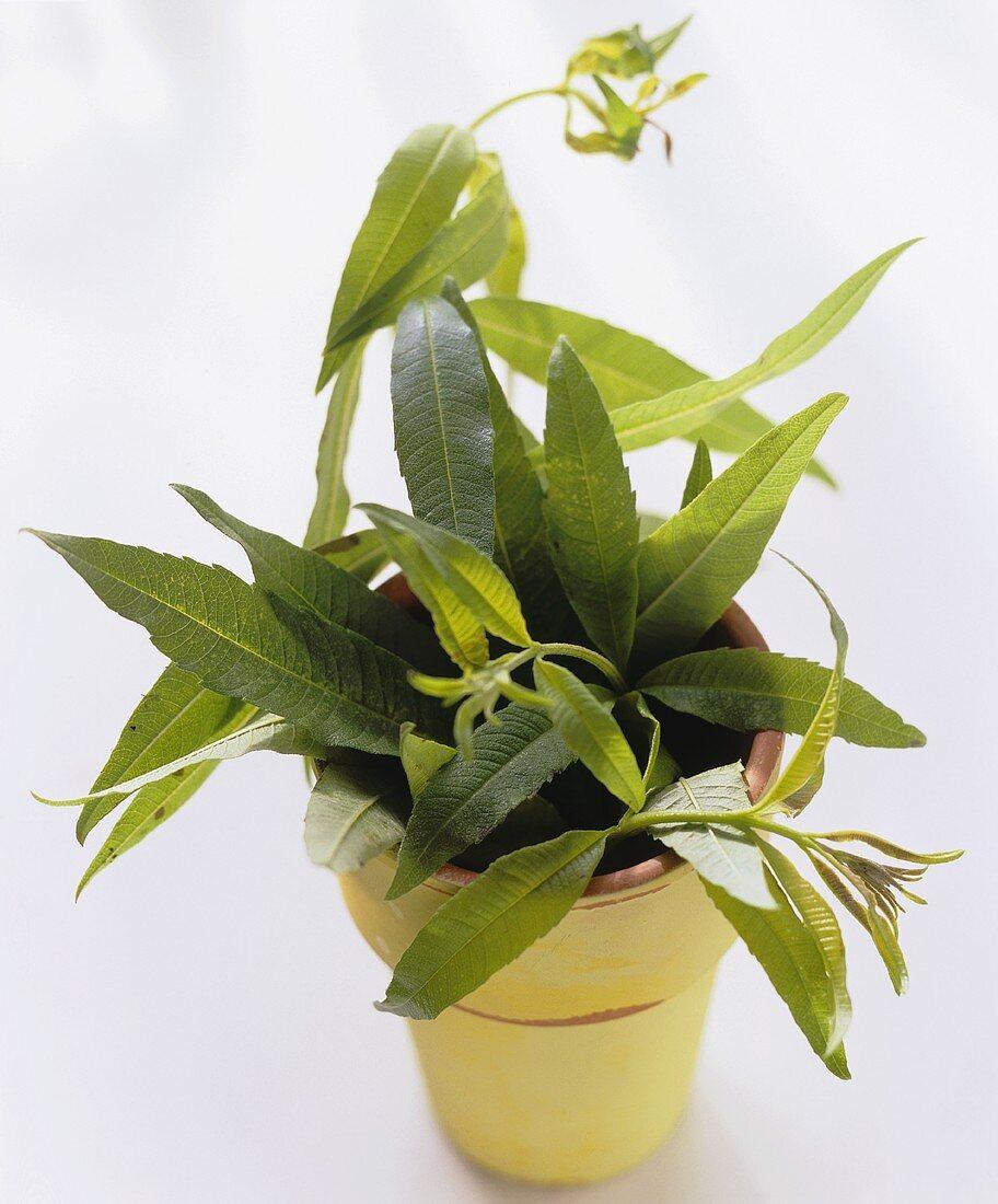 Lemon verbena in yellow flower pot