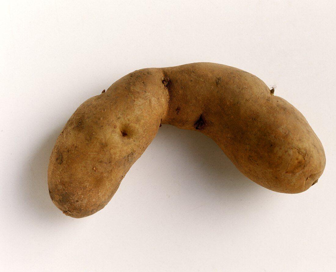 A potato, variety: Bamberger Hörnchen