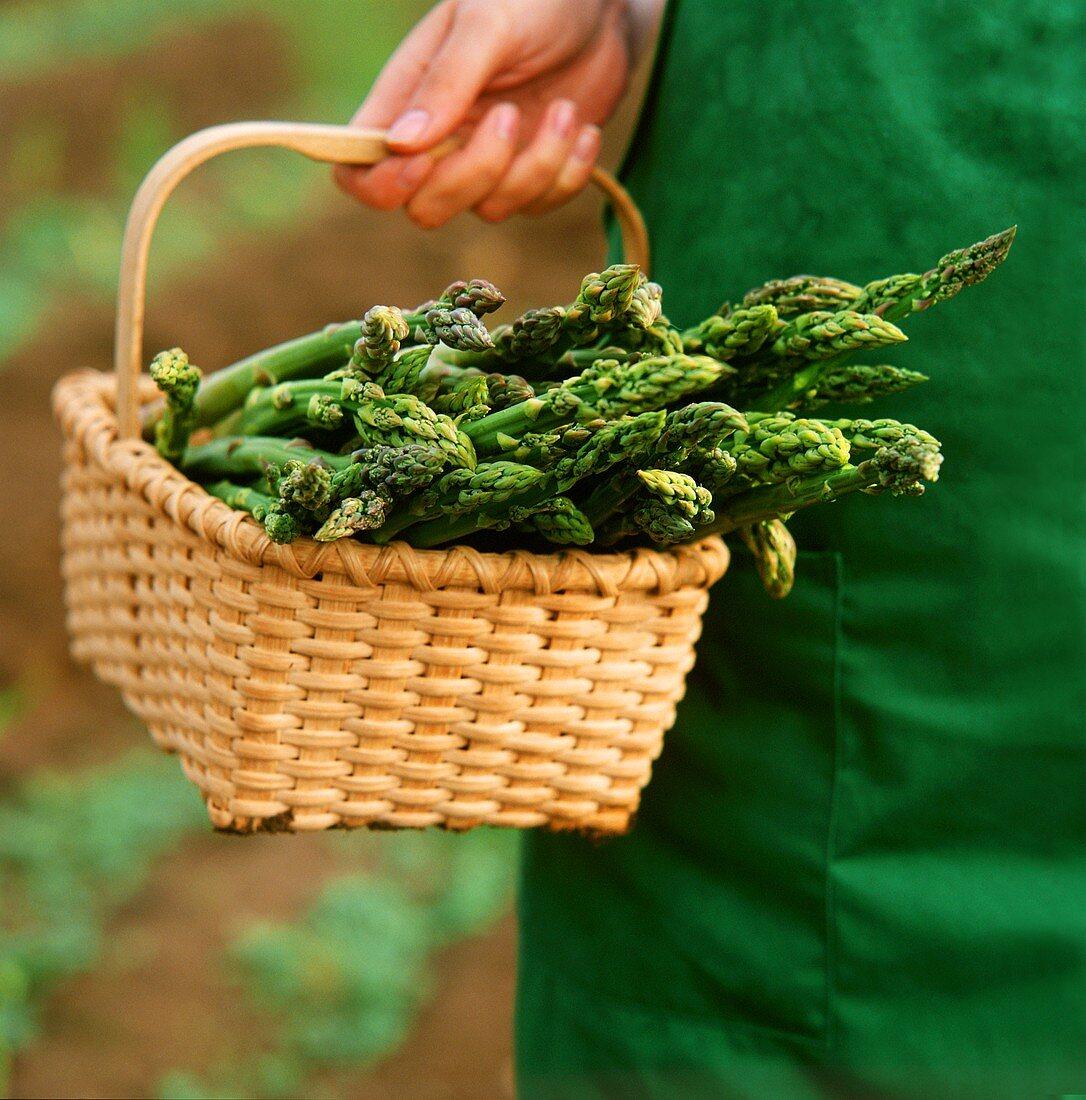 Hand holding a basket of freshly cut green asparagus