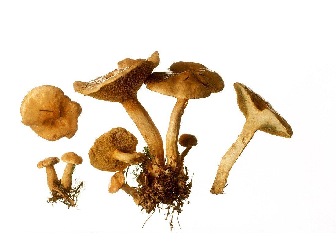 Shallow-pored boletus (Suillus bovinus)