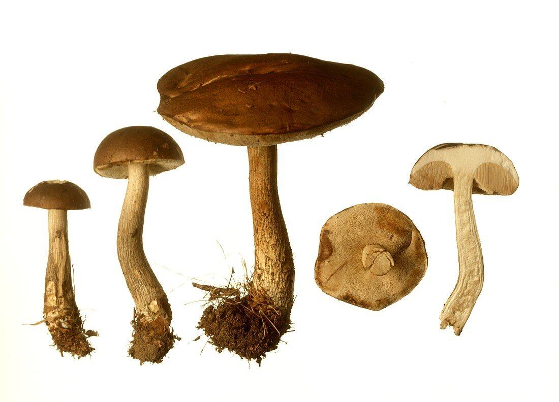 A few birch boletus mushrooms