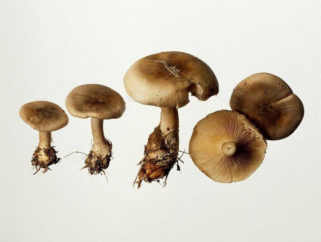 Mushrooms (Clitocybe nebularis)