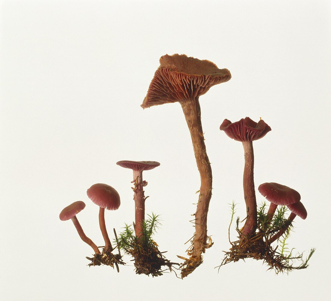 Amethyst Deceiver (Laccaria amethystina)