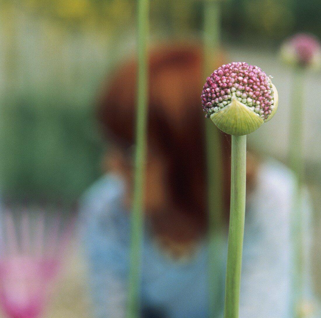 Flowers of giant onion (Allium giganteum) in garden