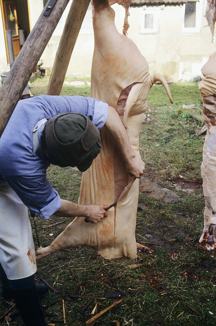 Butchering a pig: removing the back fat