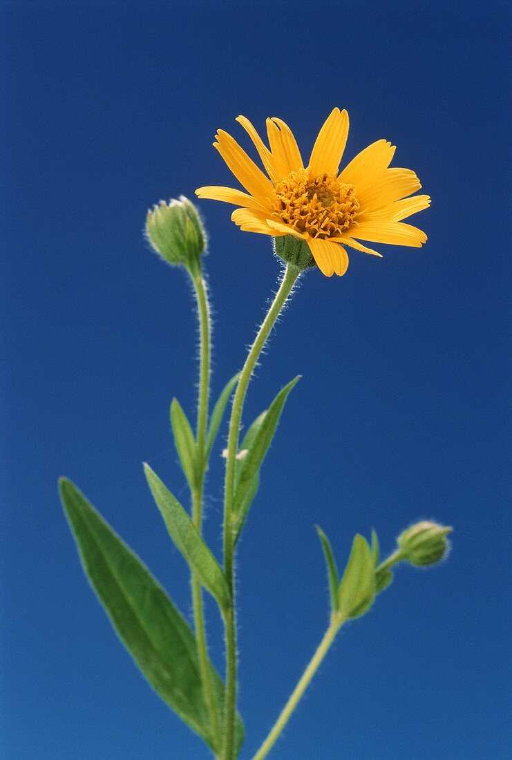Flowering arnica (Arnica montana) against blue background
