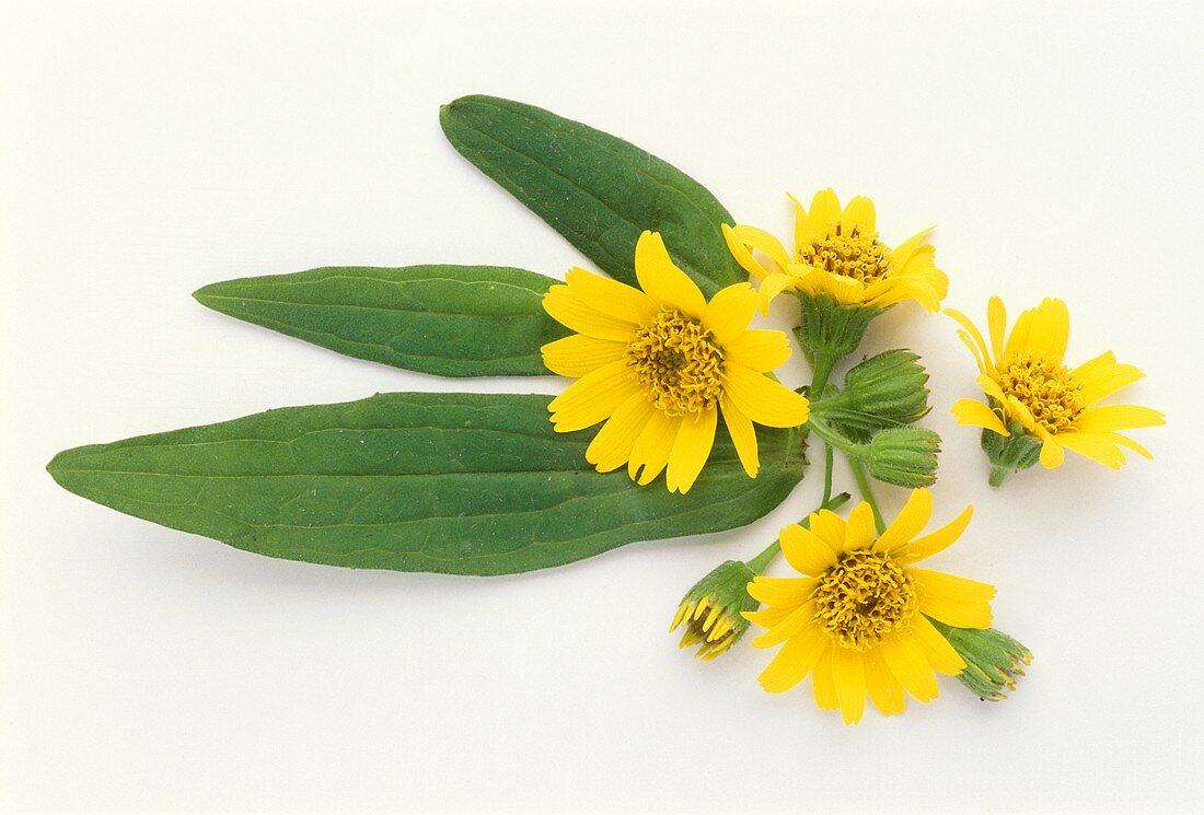 Flowering arnica (Arnica montana) with leaves