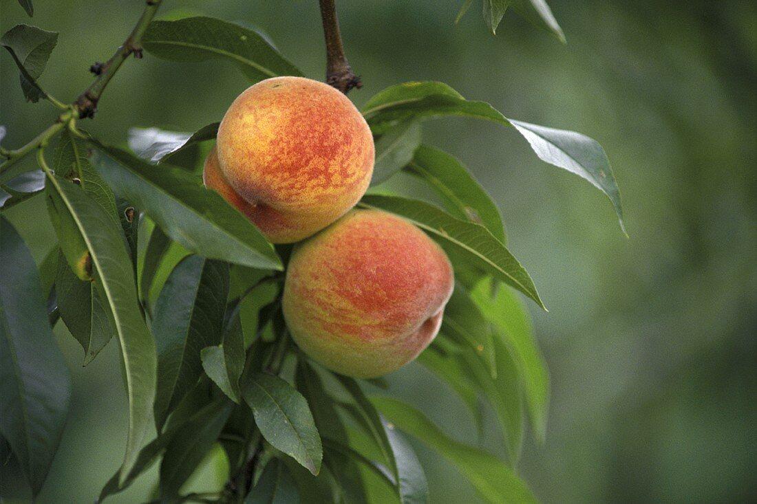 Ripe Peaches in Tree