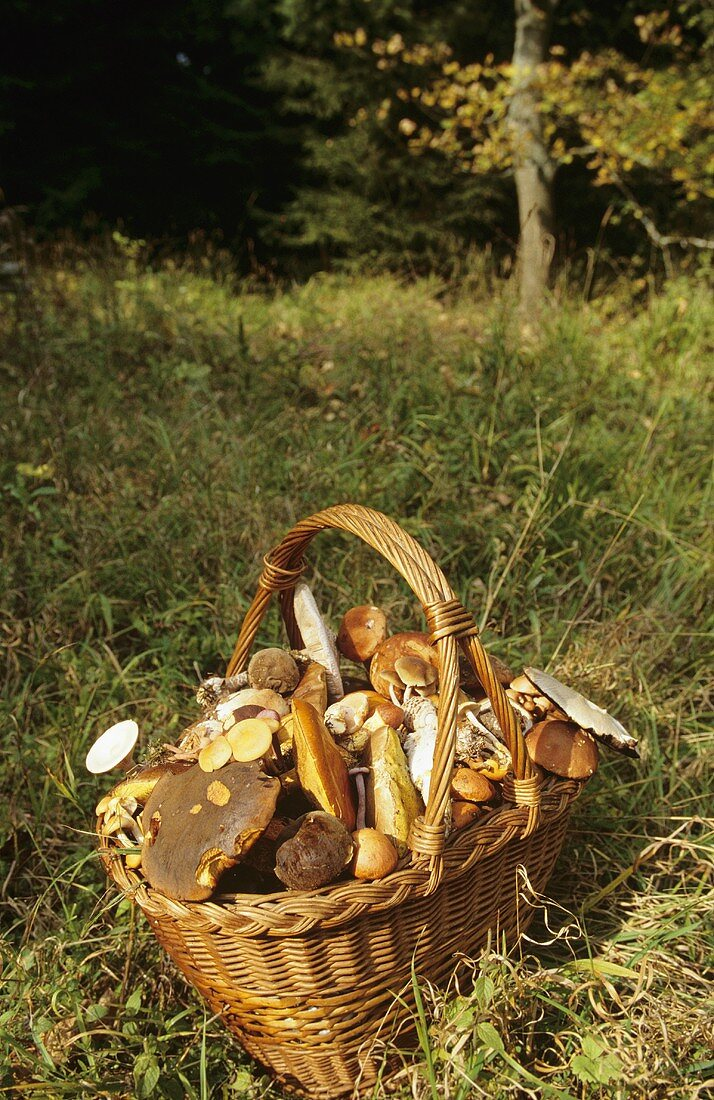 Various mushrooms in a basket in forest glade