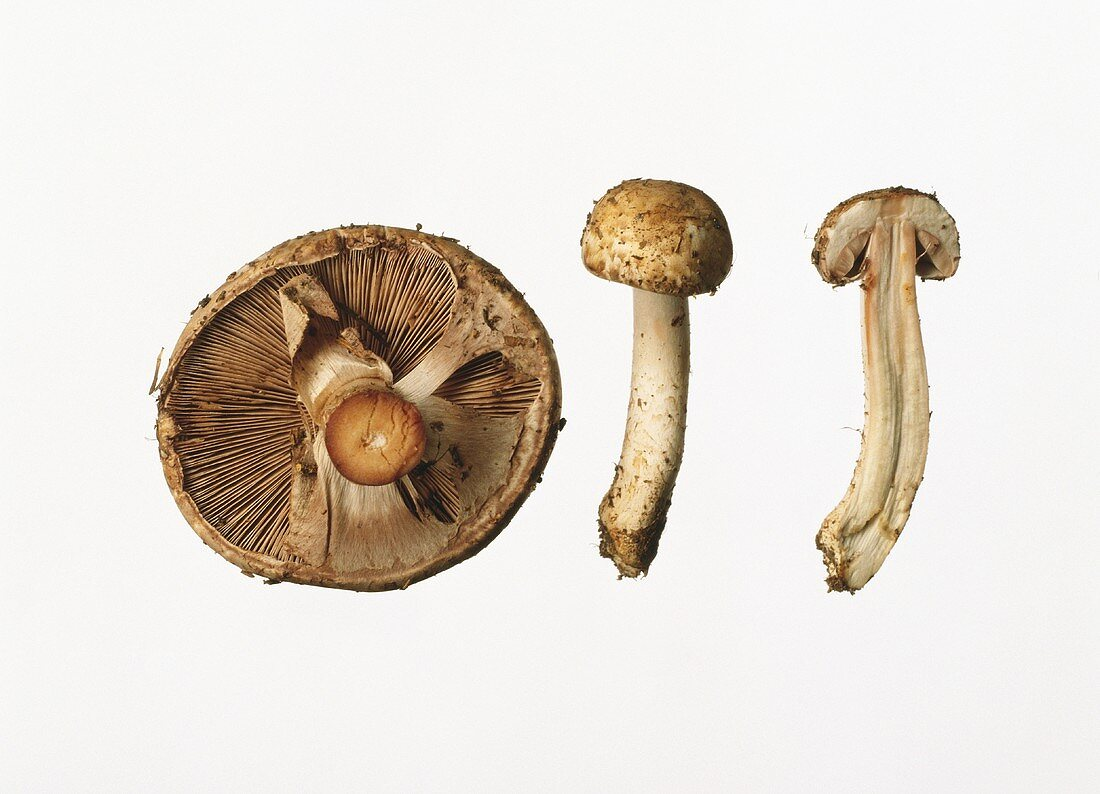 Pine-wood mushrooms: whole, halved and from below
