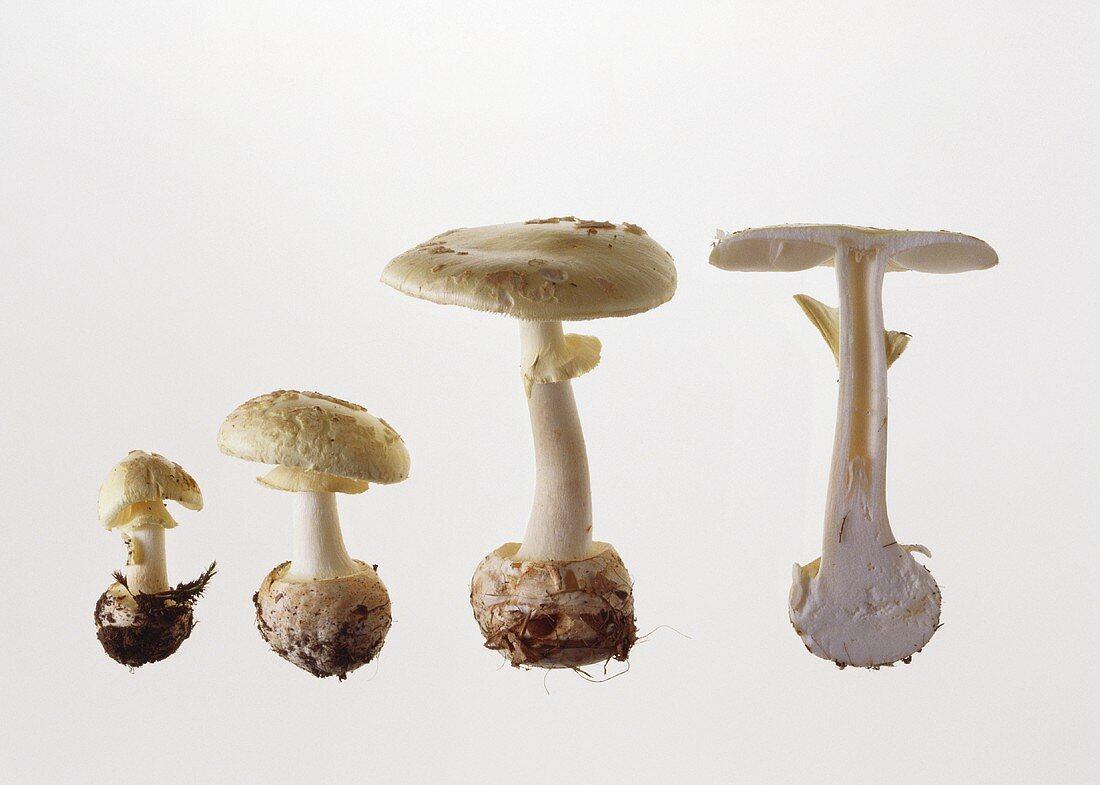 Four yellow death cap mushrooms