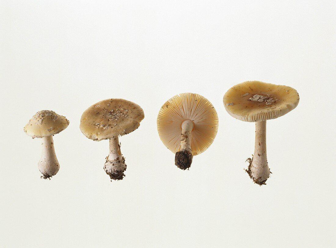 Four daffodil yellow death cap mushrooms (Amanita gemmata)