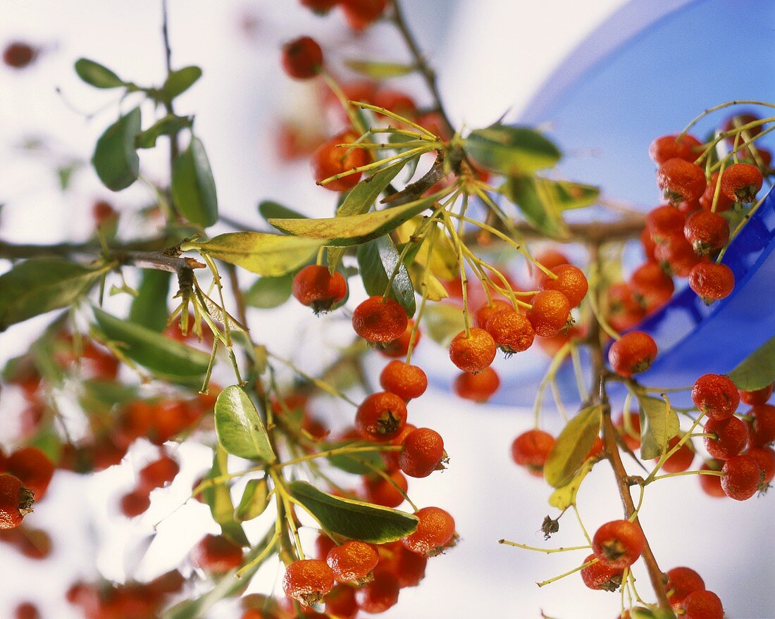 Sprig of firethorn (Pyracantha coccinea; inedible)