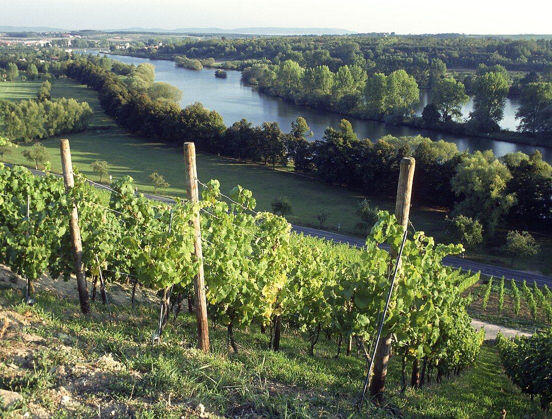 Vineyards and the Main near Volkach, Kitzingen, Lower Franken