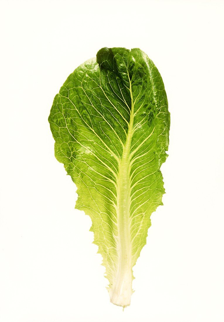 A romaine lettuce leaf