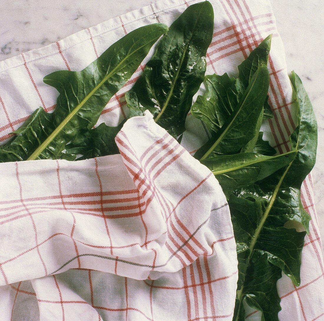 Drying dandelion salad in tea towel