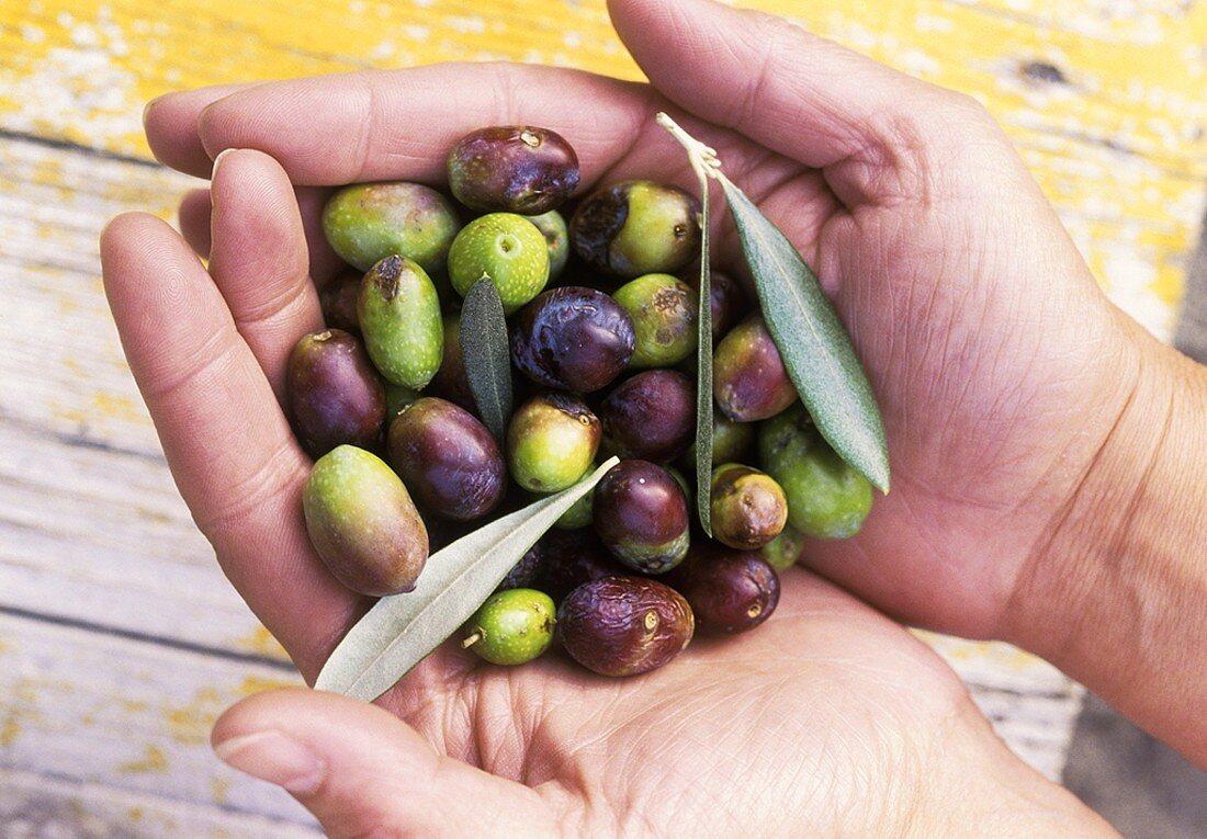 Hands Holding Many Fesh Olives