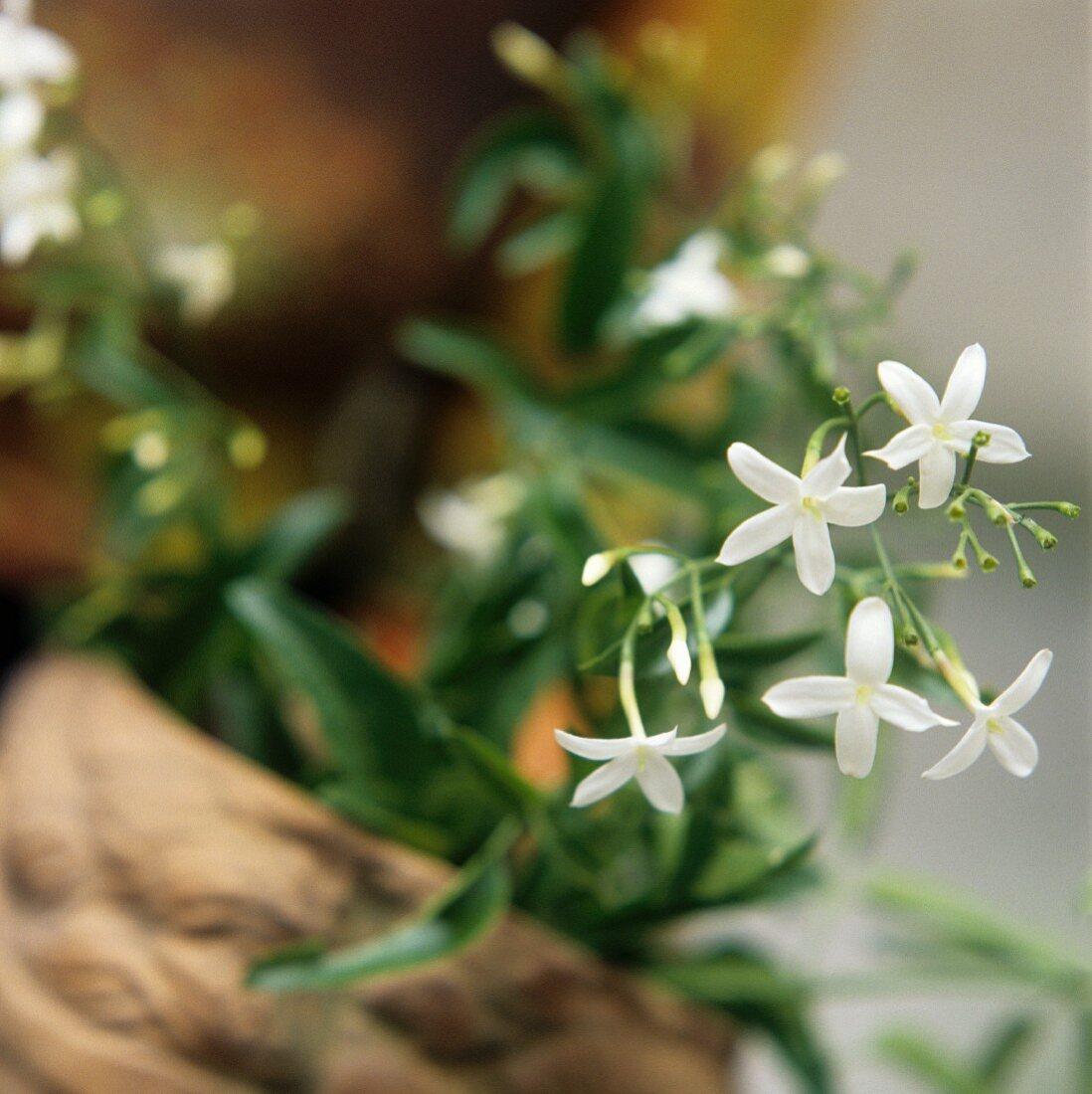 Flowering jasmine (Jasminum officin., for oil, tea)