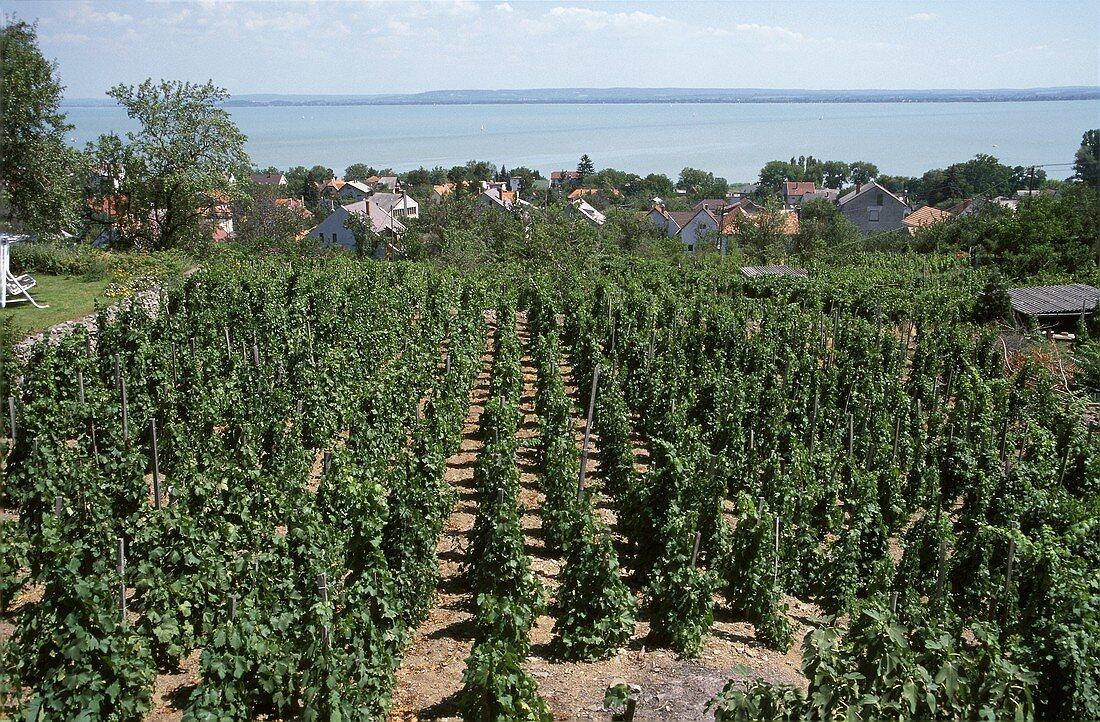 Riesling vineyard above Badacsony on Lake Balaton, Hungary
