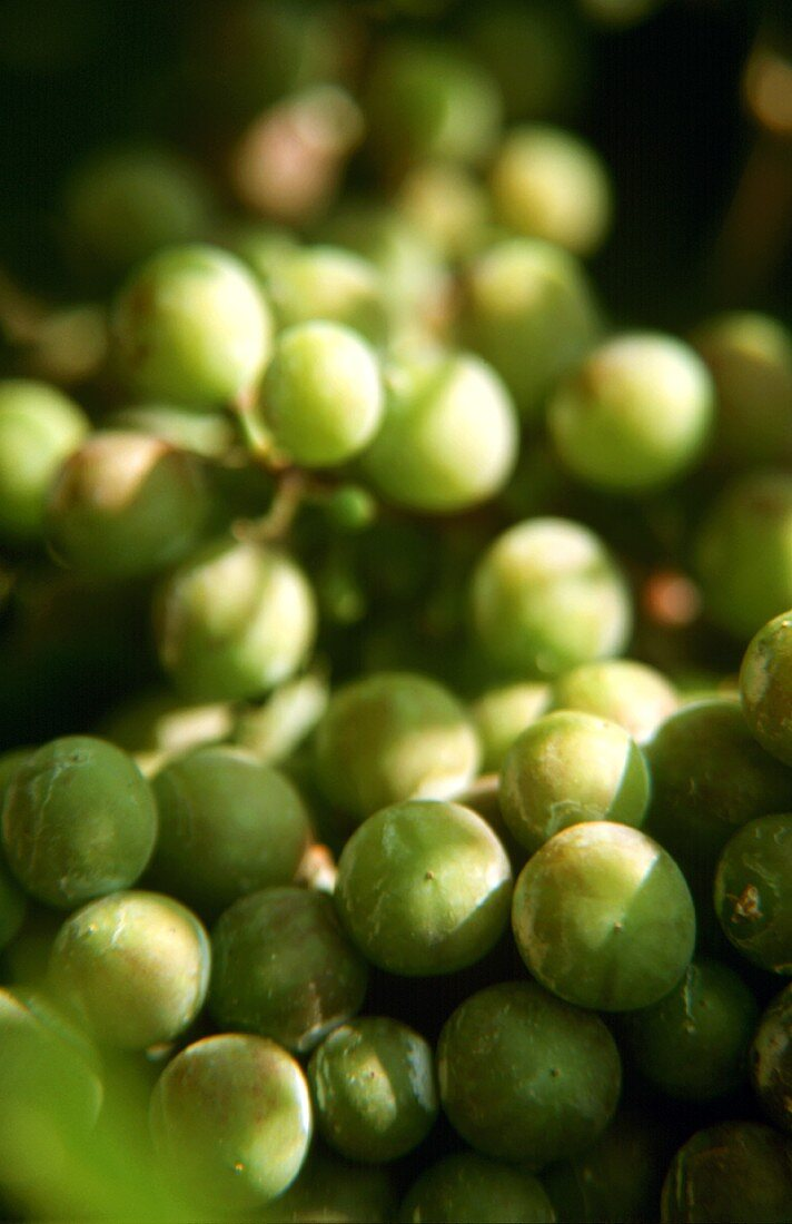 The Welschriesling grape produces a regular yield