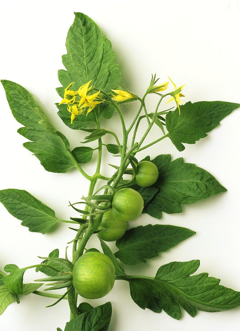 Green tomatoes on the vine with tomato flowers