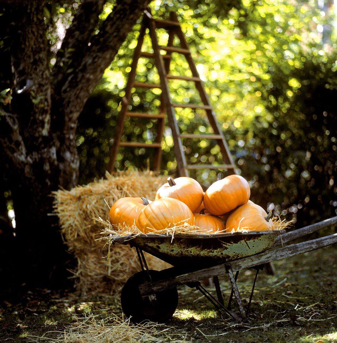 Giant orange pumpkins in a wheelbarrow