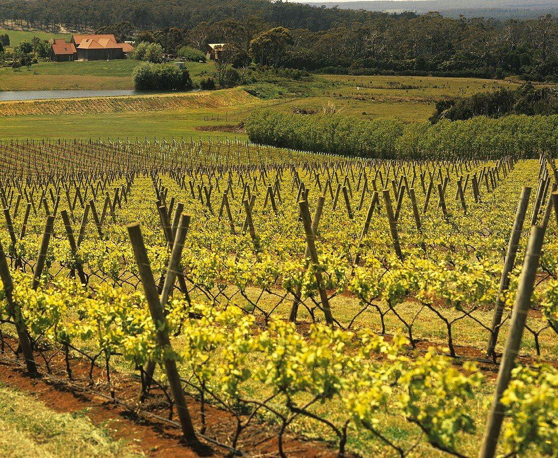 Vineyards of the renowned Piper's Brook Winery, Tasmania
