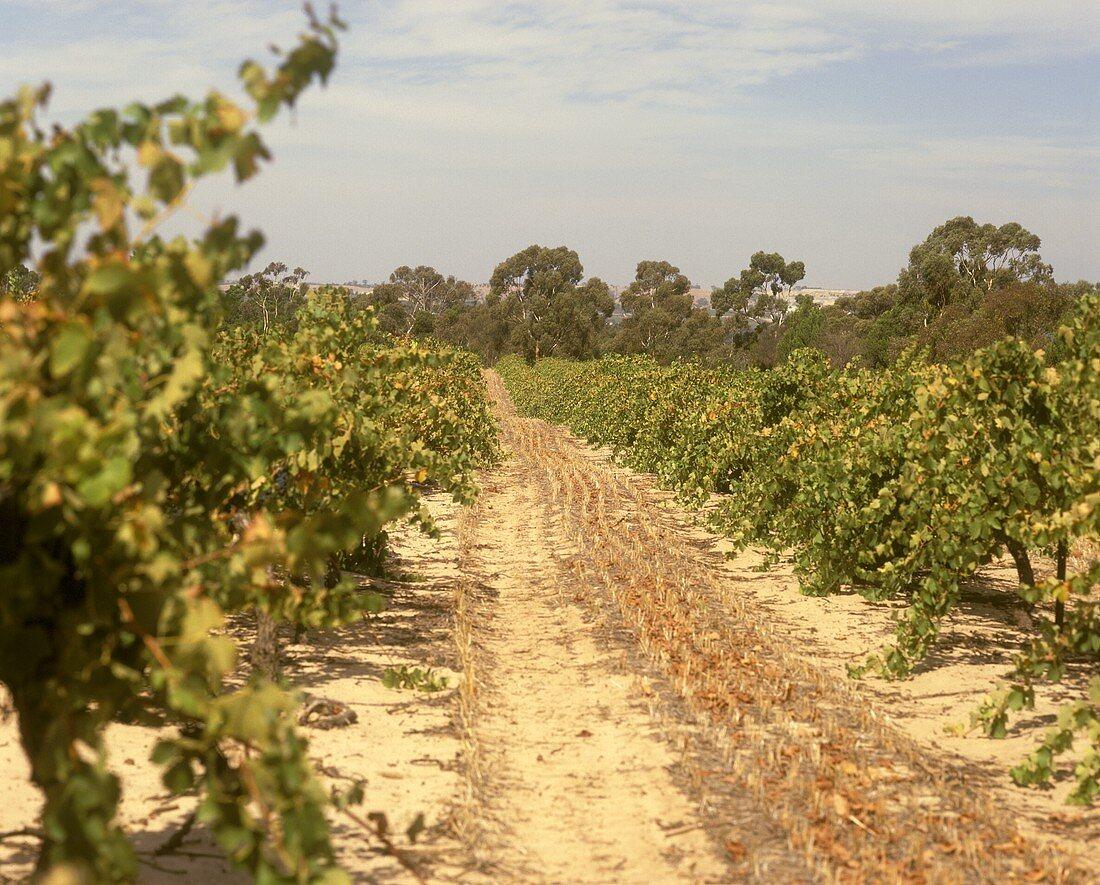 Path through vineyard, Kalimna, S. Australia