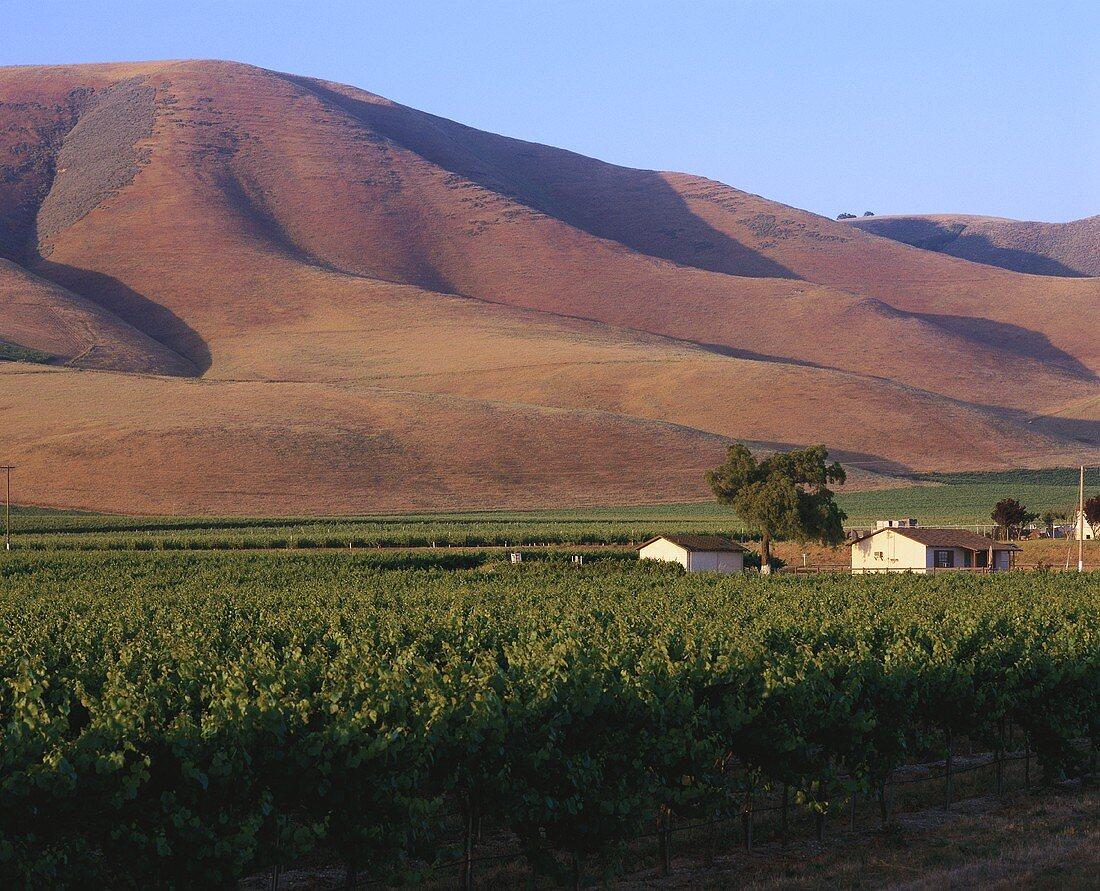 Vineyard of Edna Valley Winery, Central Coast, California