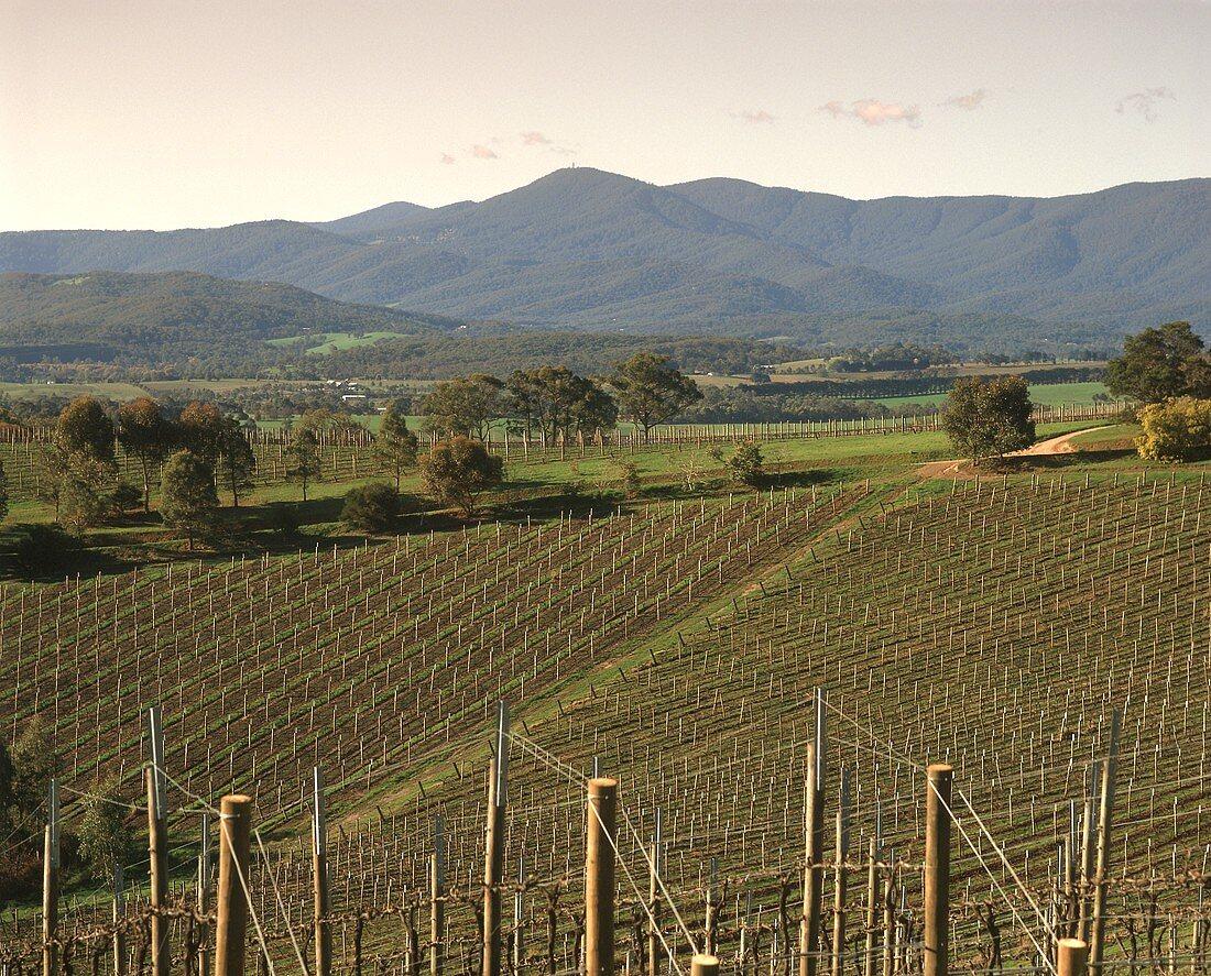 Newly established vineyards, Goldstream Hills, Australia