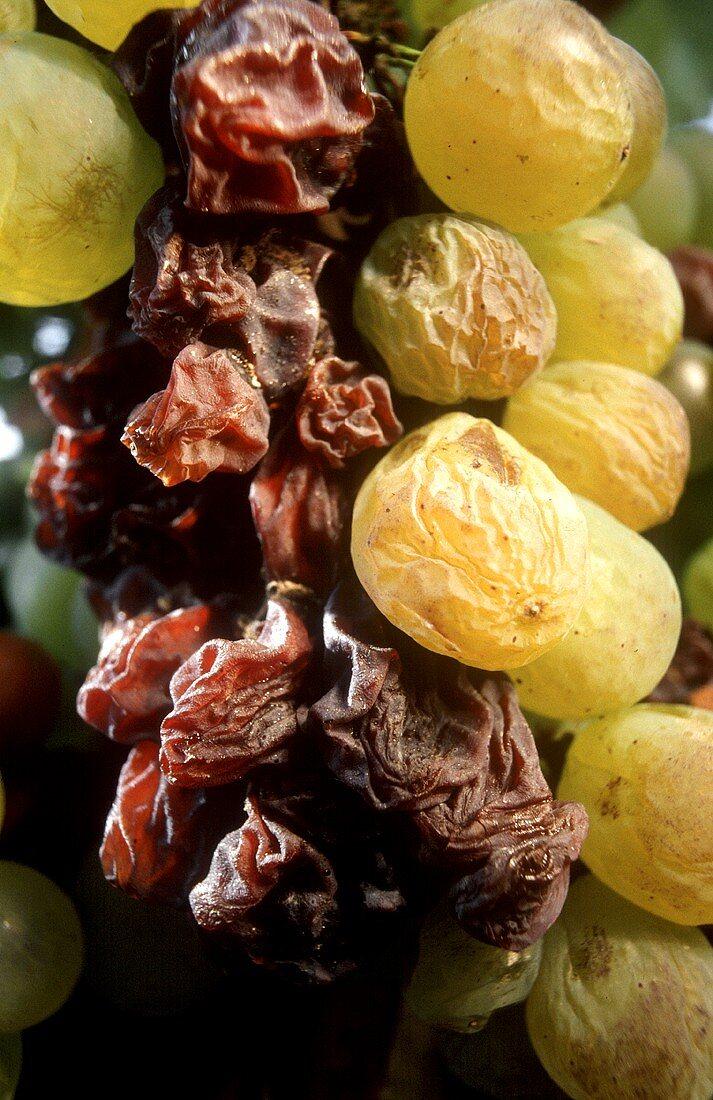Dry Furmint grapes for Aszu (Tokay), Hungary