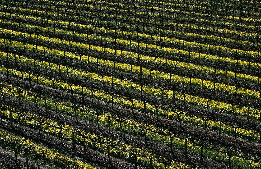 Vineyard with mustard flowers, McLaren Vale, S. Australia