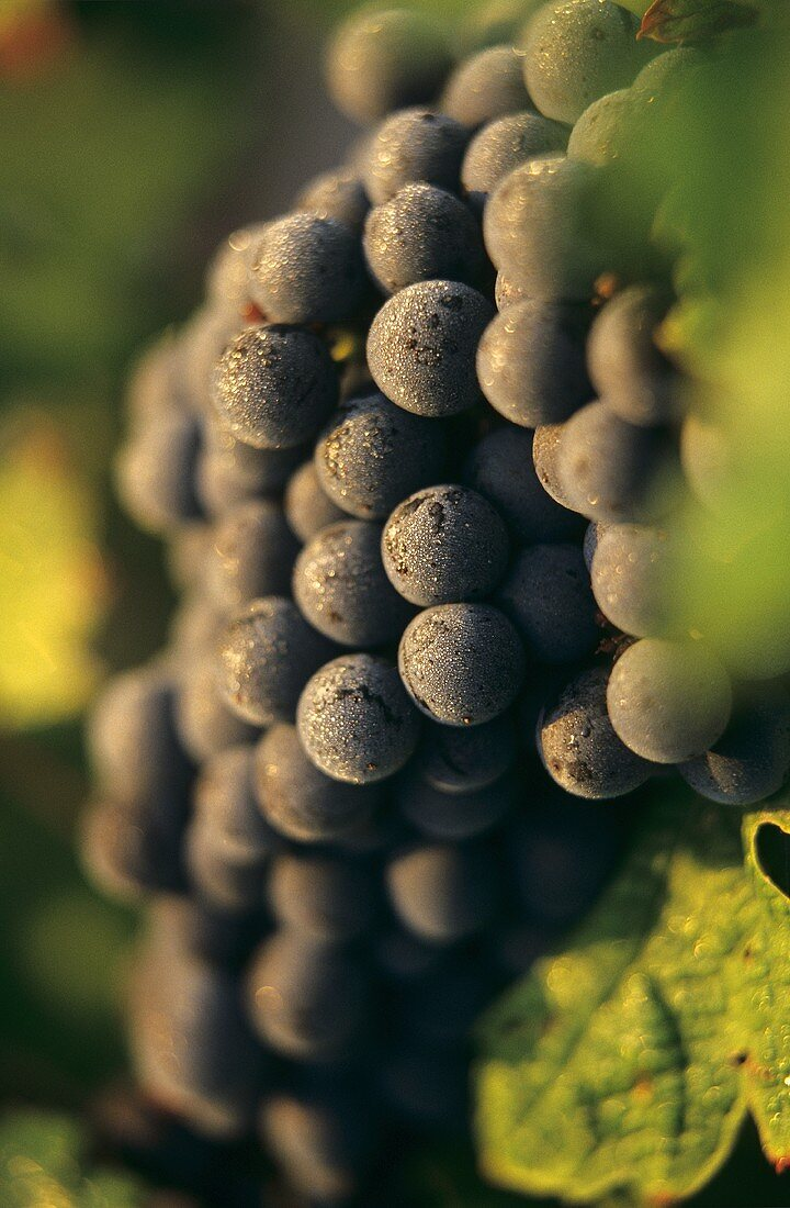 Cabernet-Sauvignon grapes in morning dew, Chateau Margaux