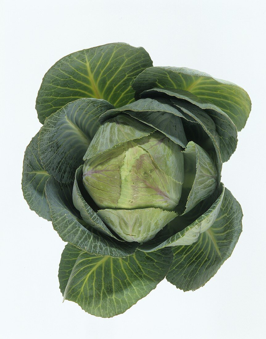 Young white cabbage